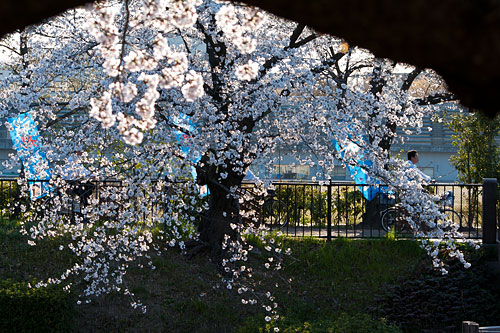 山崎川桜-6