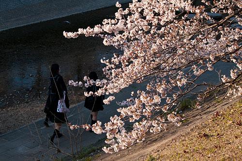 山崎川桜-7