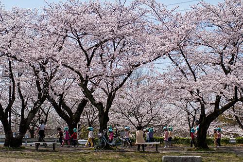雨池公園の桜