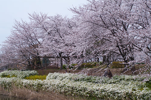 白沢公園の桜風景