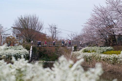 吊り橋と桜の風景