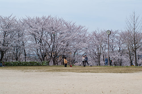 城土公園の桜