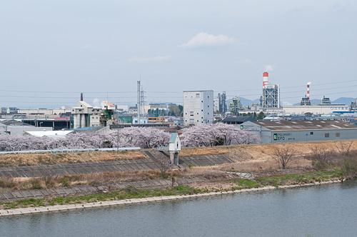 庄内川と桜
