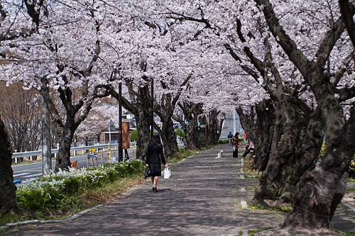 雨池公園の桜トンネル