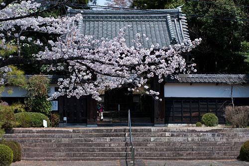 大森寺と桜