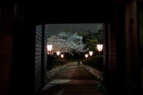 名古屋城桜-12