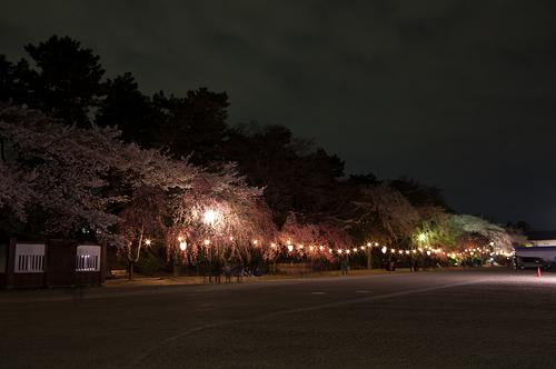 名古屋城桜-13