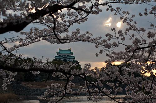 名古屋城桜-4
