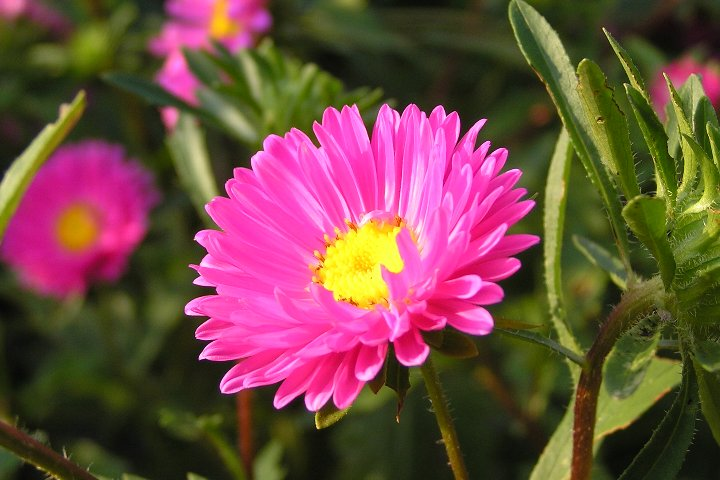 ピンク・紫・白のアスター ...