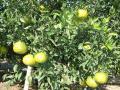 現在の果実の様子