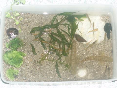 ウキゴリ水槽1