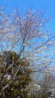 4月6日 桜