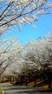 4月12日 桜並木