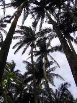 八重島ヤシの原生林