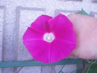 アサガオの花03