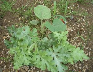 スイカからカボチャの葉