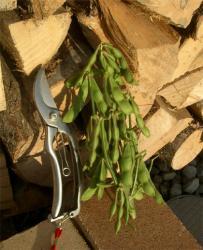 一株から約40さやの収穫
