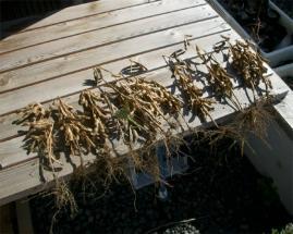充分乾燥した大豆