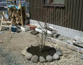 ツリバナ植え付け完了