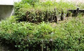 クローバーに埋もれた野いちご