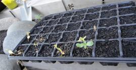 一年性亜麻の発芽