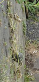 カボチャの葉っぱが枯れてきた