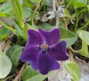 ヒメツル日々草 紫