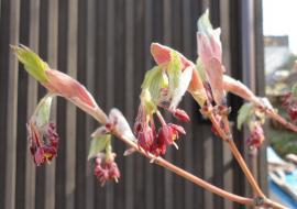 ハウチワカエデも開花