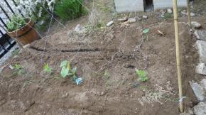 エンドウ豆とキュウリ