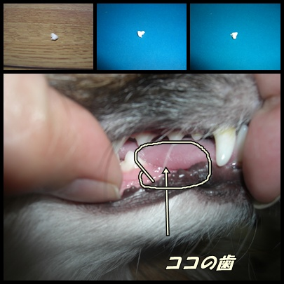 シュガーの歯