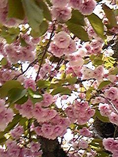 100426水野殿八重桜