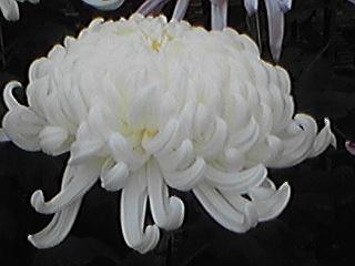 101030大輪の菊