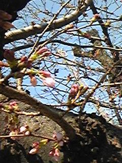110331桜