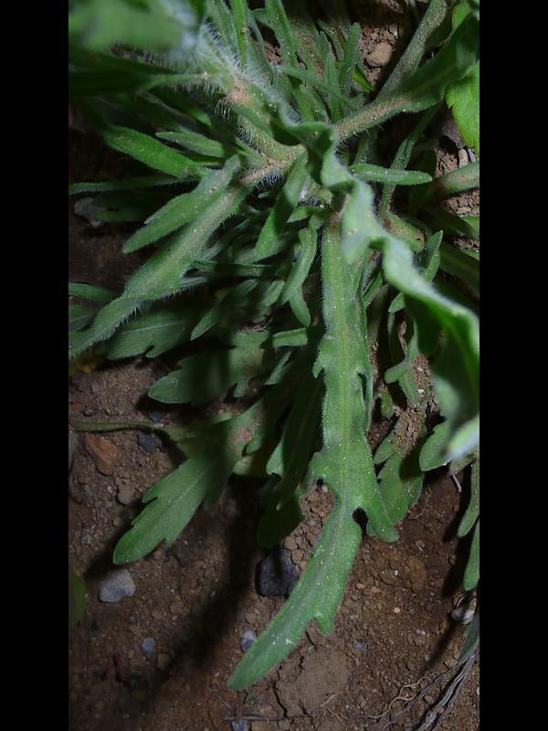アレチノギク 葉