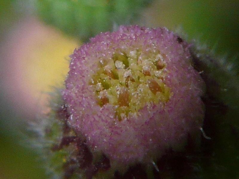 アレチノギク 花の拡大