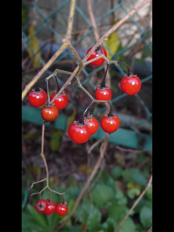 ヒヨドリジョウゴ 果実の拡大