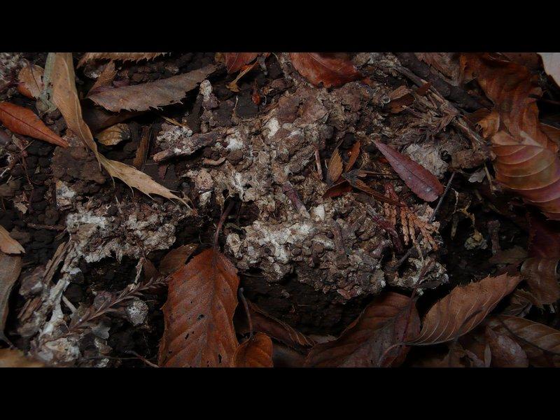 ヒメカンムリツチグリ 菌糸のマット