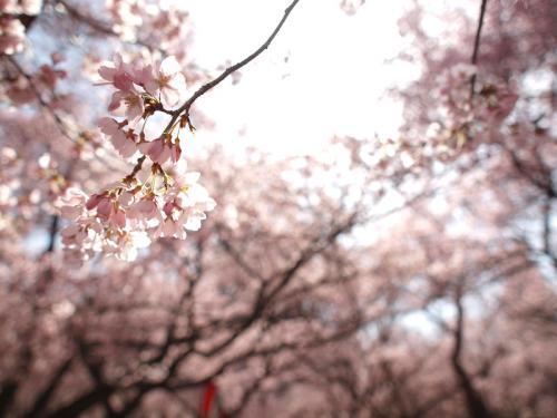 2010 桜