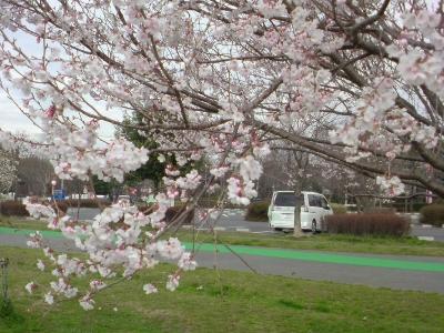 公園の桜とMy car(笑)