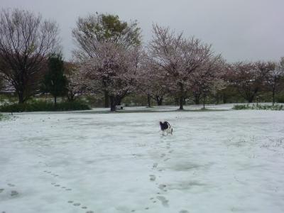 散りそうな桜と雪景色?