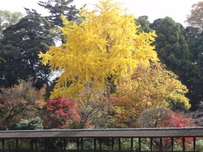 本土寺のイチョウ