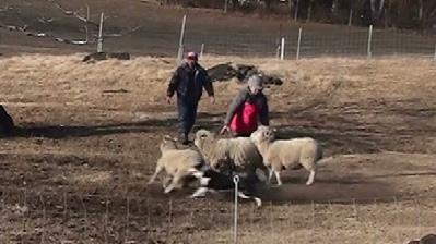 ミニーと羊