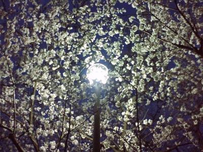 気分だけでも夜桜