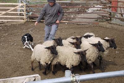 何故か顔の黒い羊がいっぱい