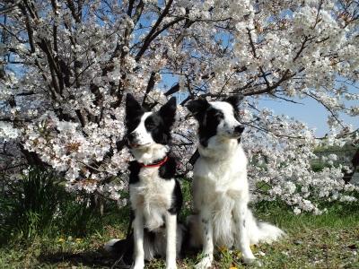 公園の桜が満開だよ
