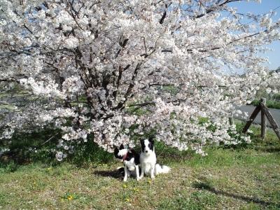 大きな桜だわ