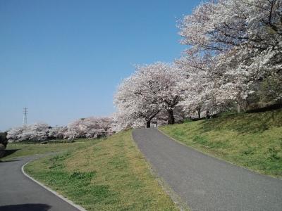 こちらの桜も見事です