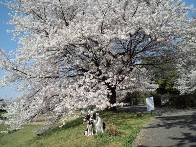 大きな桜の木だね