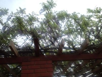 よくわかんないけど藤が咲いている