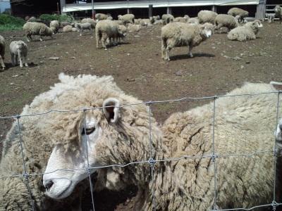 羊のアップ